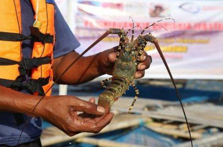 Indonesia Akan Kuasai 50 Persen Pasar Lobster Dunia